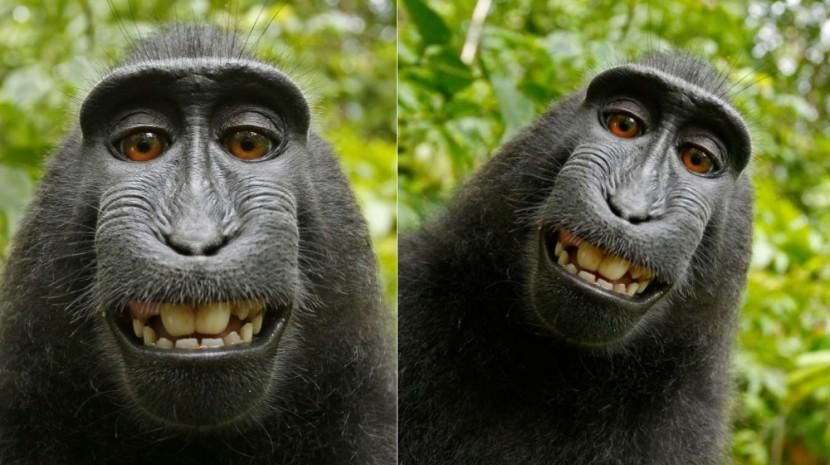 wikipedia monkey selfies