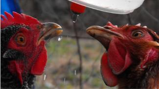 avian aqua miser