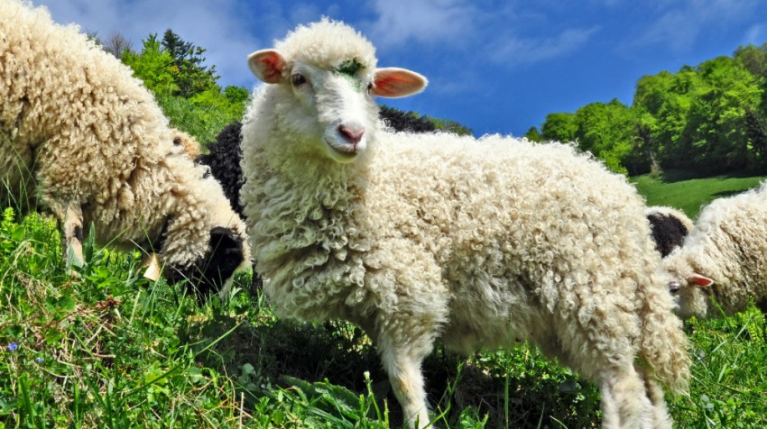 sheep provide a green solution