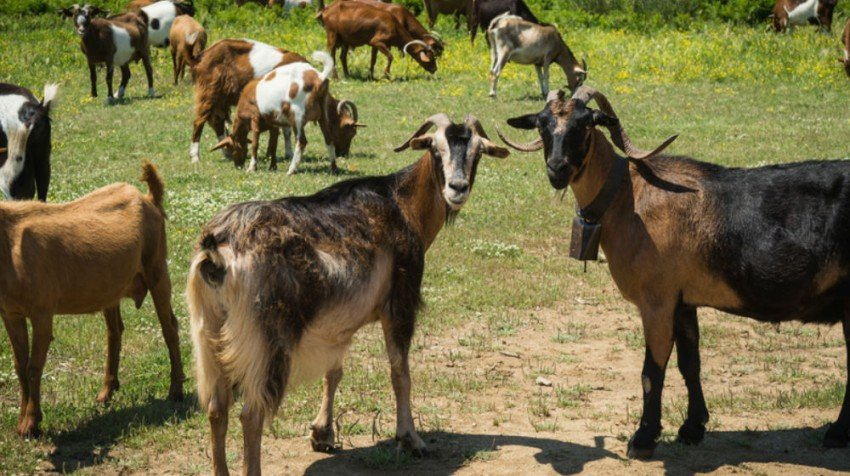 goat rental 2