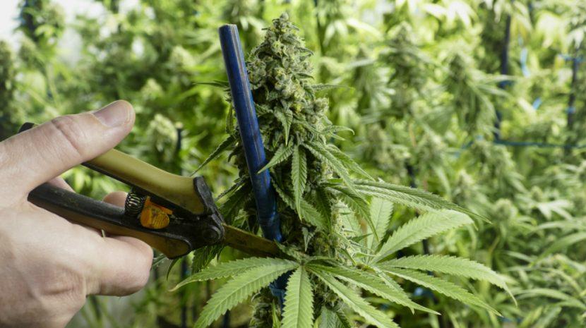 20 Marijuana Business Opportunities