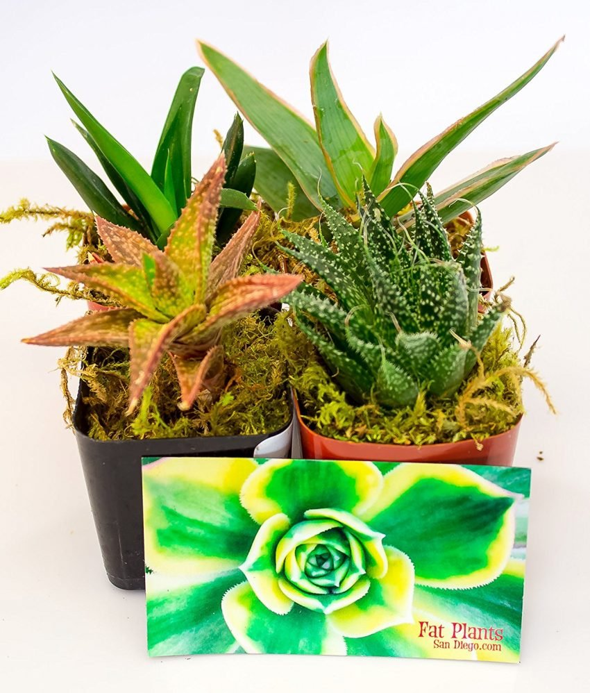 25 Office Desk Plants - Aloe Plants