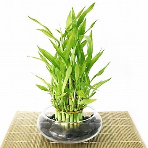 25 Office Desk Plants Bamboo Arrangement