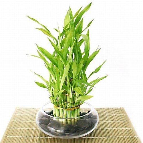 30 Office Desk Plants - Bamboo Arrangement