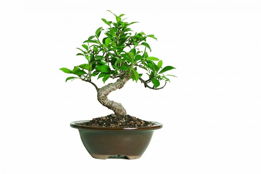 30 Office Desk Plants - Ficus Bonsai