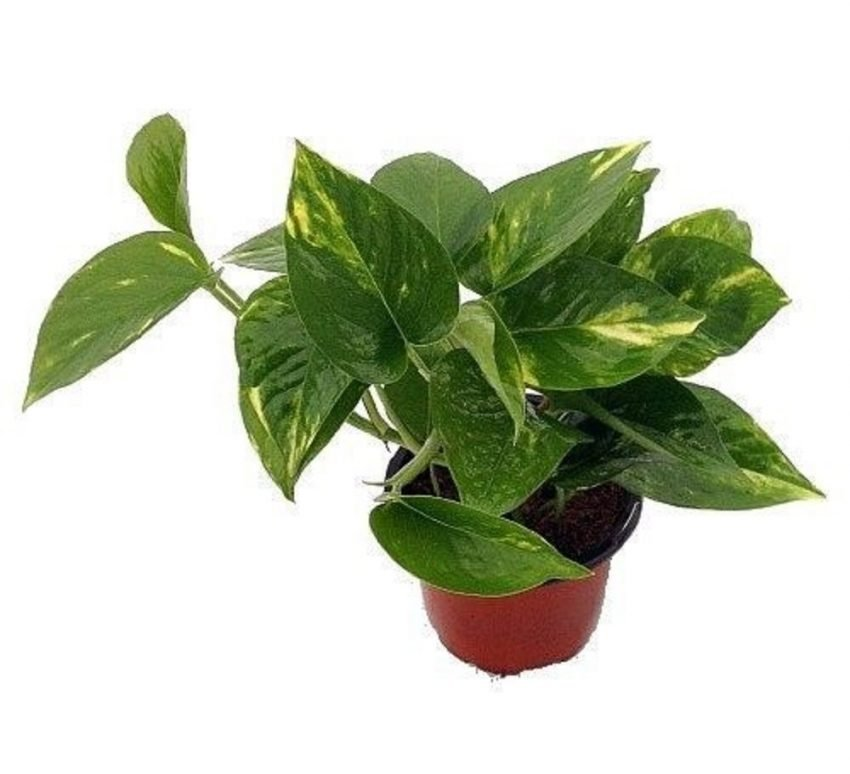 30 Office Desk Plants - Golden Devil's Ivy