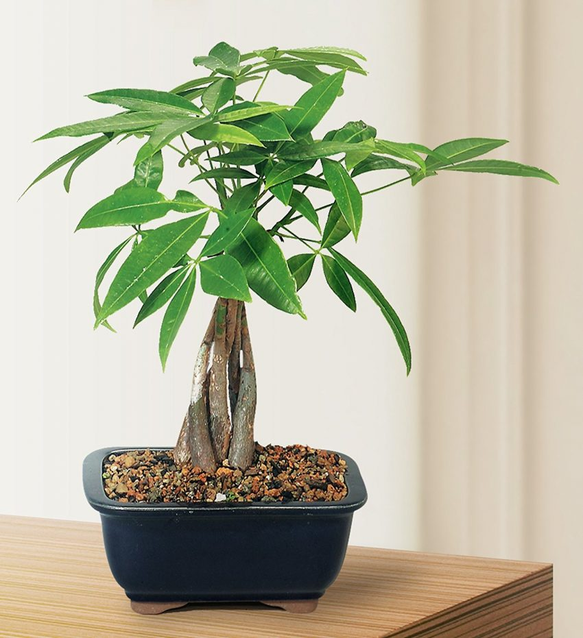 25 Office Desk Plants - Money Bonsai Tree