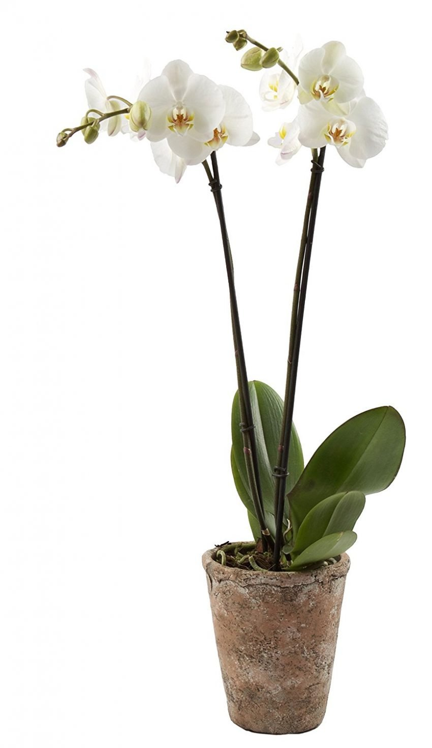 25 Office Desk Plants - Color Orchids