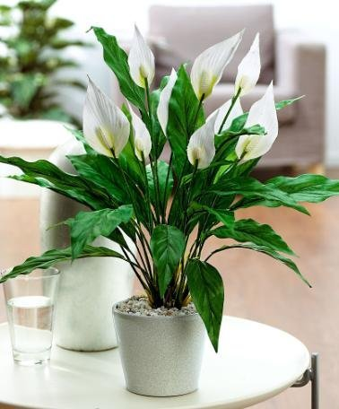 25 Office Desk Plants - Peace Lily