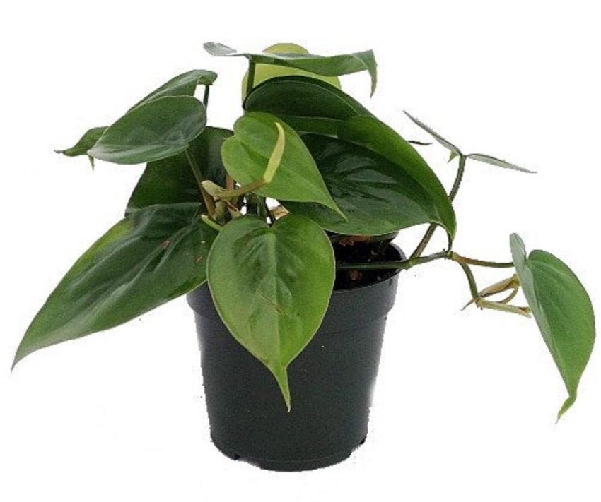 25 Office Desk Plants - Philodendron