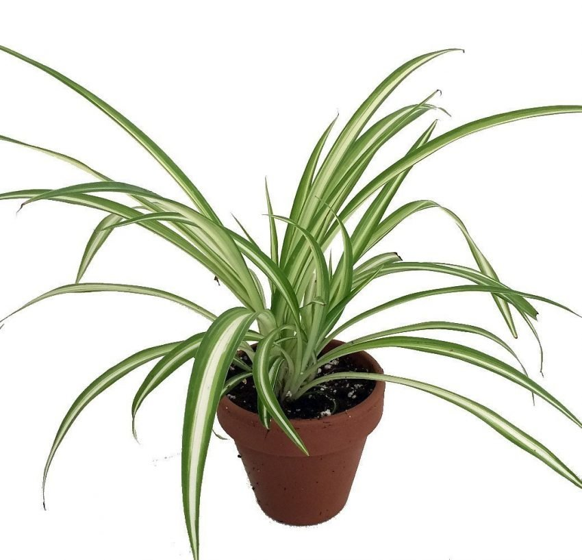25 Office Desk Plants - Ocean Spider Plant