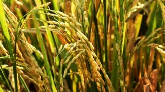 America Exporting Rice to China?