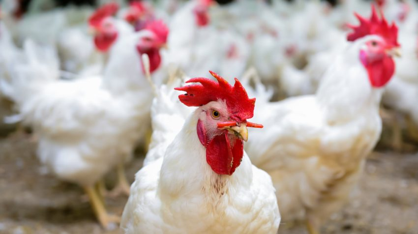 Government Says Most Poultry Farms Are Not Small Businesses, Can't Get SBA Loans
