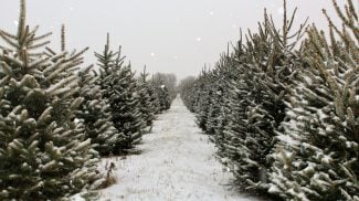 Amazon is Selling Christmas Trees - Will Convenience Trump Tradition?