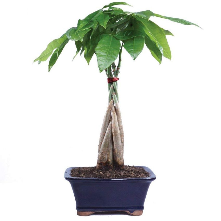 Clever Holiday Gift Ideas for Employees - Indoor Bonsai Tree
