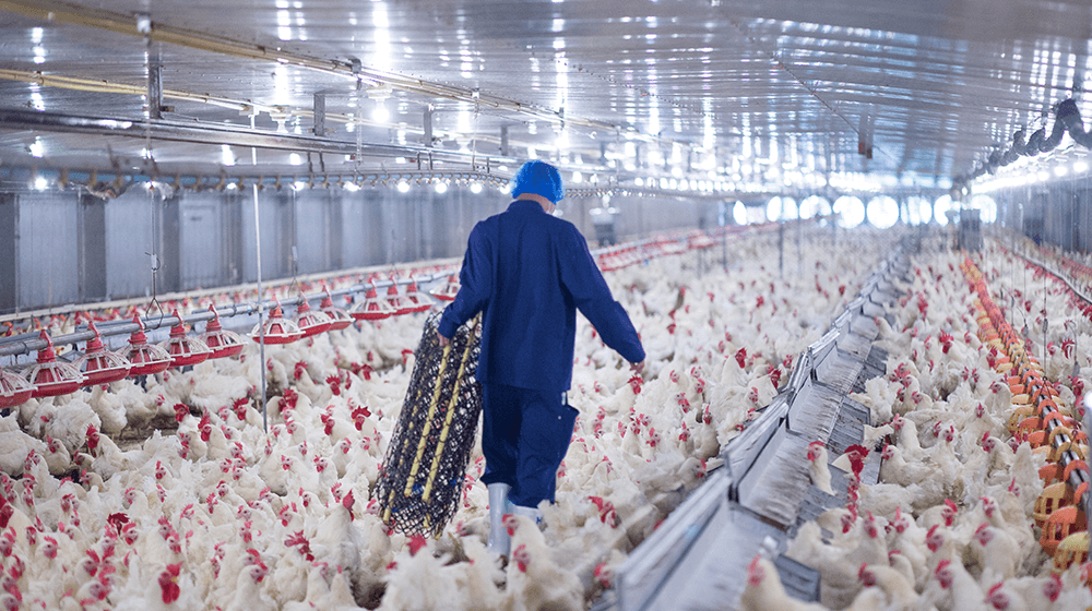 chicken farmers settlement with big processors